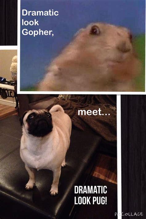 dramatic pug dramatic pug humor pug