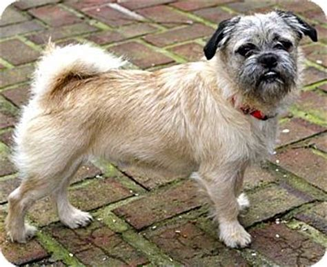 pug rescue new hshire poncho adopted salem nh pug cairn terrier mix