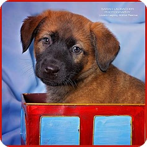 golden retriever rescue cincinnati ohio cincinnati oh german shepherd golden retriever mix meet wallace a puppy for