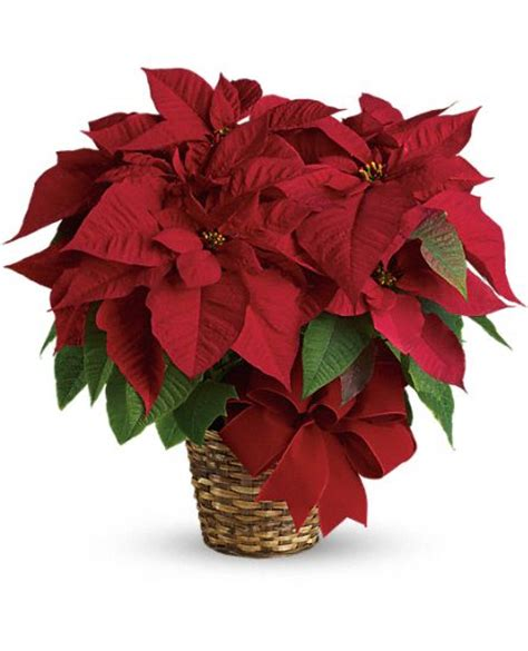 red poinsettia plants red poinsettia plant basket