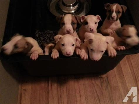 pitbull puppies for sale in oregon blue nose pitbull puppies for sale eugene oregon
