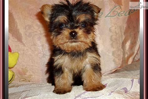 chorkie puppy puppies currently for sale breeds picture