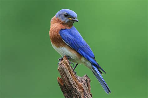 eastern bluebird facts information and photos american