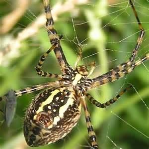 Garden Spider Argiope Banded Garden Spider Argiope Trifasciata Bugguide Net