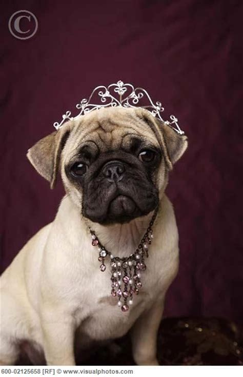 princess pug 887 best pet fashion show images on pets doggies and yorkies