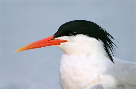 byrd tern tern audubon field guide