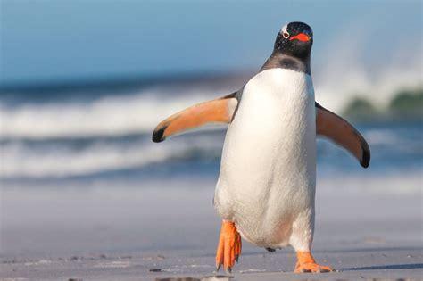 Penguin S penguin facts types habitat diet adaptations pictures