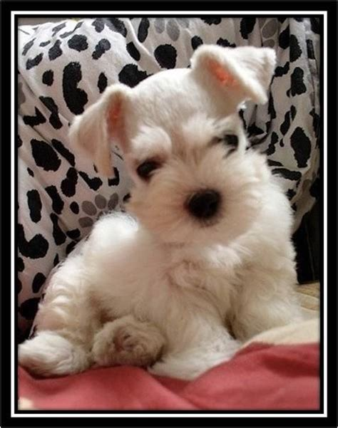 white schnauzer puppies about white miniature schnauzers