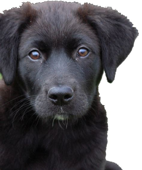 rescue groups rescue adoption at labradors and friends