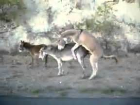 Donkey s love mating youtube flv youtube