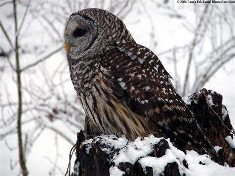 laura s barred owl photos