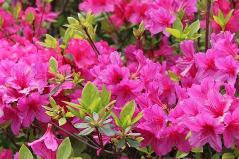 Garden Flowering Shrubs Shrubs That Bloom All Year Year Shrubs According To Season Balcony Garden Web