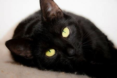 black cat superstitions   origins  conscious cat