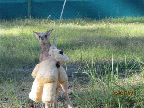 doodlebug orphaned kangaroo an orphaned baby kangaroo to hug his teddy