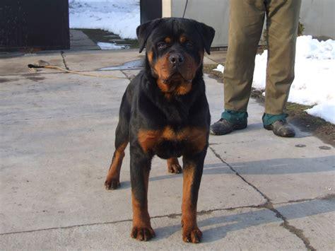 rottweiler puppies 6 months rottweiler breeders rottweiler puppies for sale german rottweilers for sale