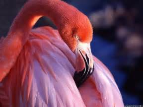 pink flamingos real pink flamingo viewing gallery