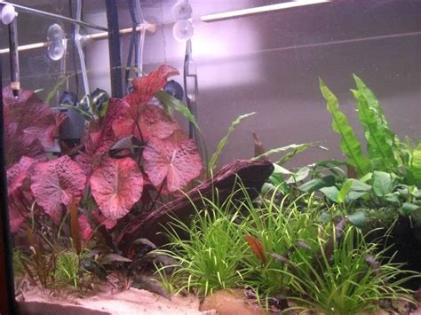 lotus tiger tiger lotus uk aquatic plant society