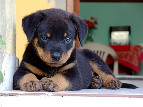 rottweiler puppy potty potty housebreak your rottweiler puppy rottweilerhq