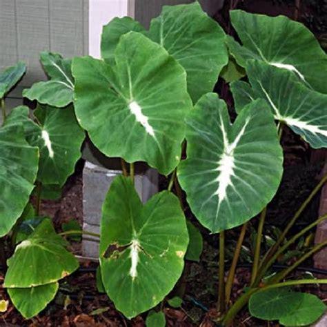 taro leaves plant care polynesian produce stand nancy s taro colocasia esculenta nanciana elephant ear