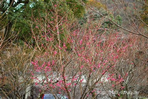 cherry blossom tree b q cherry blossom in kyoto 2012 malaysia asia