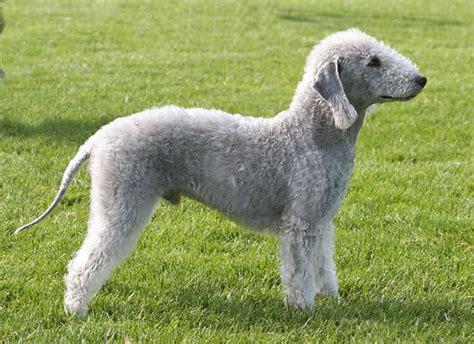 bedlington terrier puppies bedlington terrier justadogg