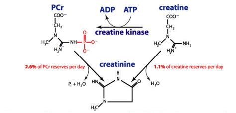 creatine blood creatinine