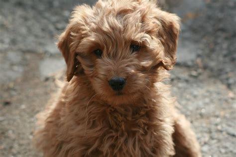 gollie puppies for sale 220 ber 1 000 ideen zu golden retriever mischling auf labrador retriever