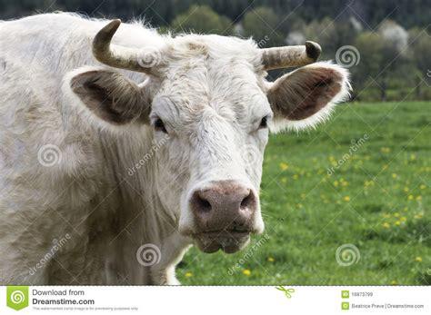 mucca charolaise mucca del charolais immagini stock libere da diritti