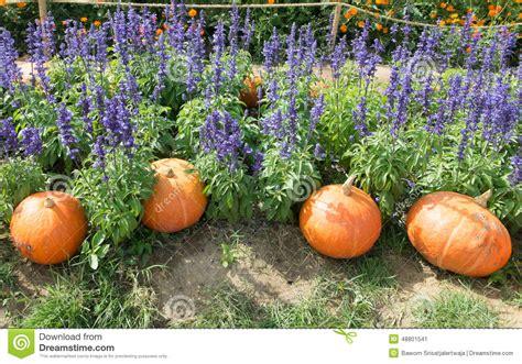 Pumpkin Garden by Pumpkin In The Purple Flower Garden Stock Photo Image
