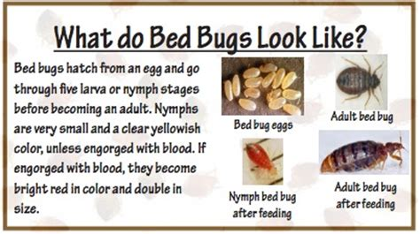 are bed bugs visible to the human eye what you should know about bed bugs in utah ksl com