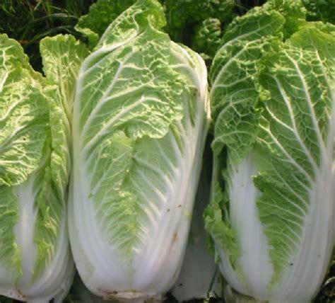 Harga Bibit Sawi Putih benih sawi putih cabbage 100 biji non retail