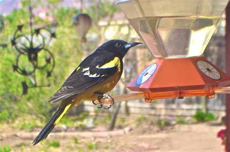 how to attract baltimore orioles to your backyard how to attract baltimore orioles to your backyard how to attract orioles attracting