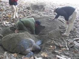 Turtle Coffe Surabaya trip mt ijen crater sukamade kalibaru bromo 5 days