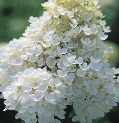 hydrangea paniculata grandiflora fine gardening
