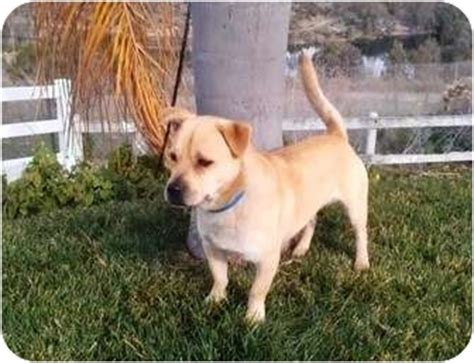 pug pitbull mix puppies for sale pit bull pug mix breeds picture