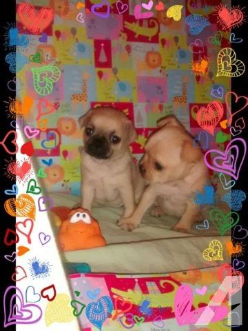pugs for sale in md teacup chugs aka pocket pugs for sale in clinton maryland classified americanlisted
