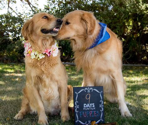 puppy photoshoot maternity photo shoot breeds picture