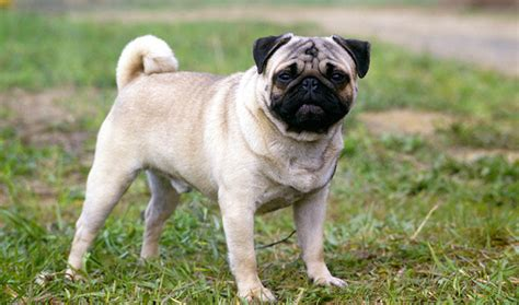 pug breed information pug breed information