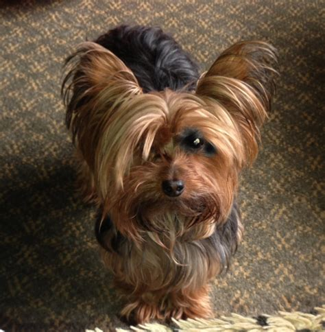 pictures of mini yorkies yorkie hairstyles pictures 52432 miniature