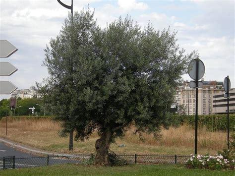 concime per olivo in vaso concime per olivi concime concimare gli olivi