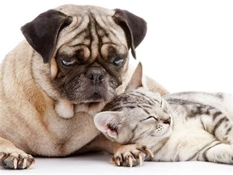 cat pug cats and dogs can live together with some help today gt pets today