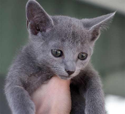 blue kittens for sale charpy russian blue kittens for sale cats kittens for