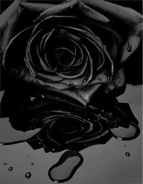 rosas negras 1000 images about flores negras on pinterest black
