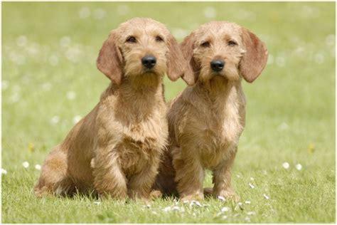 basset fauve de bretagne puppies basset fauve de bretagne puppies breeders price facts pictures diet animals adda