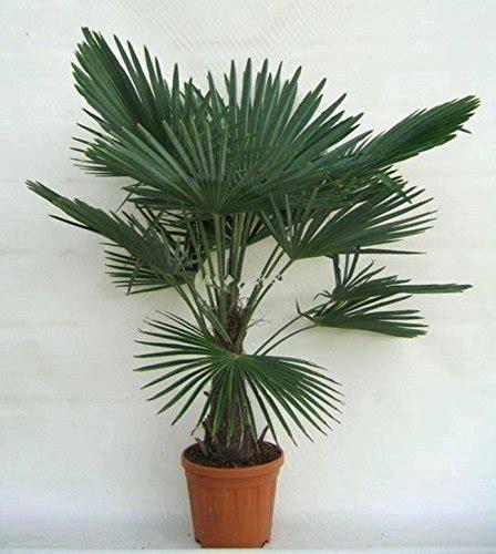 Palmen Kaufen 140 by Winterharte Palmen Kaufen Sonstige Preisvergleiche