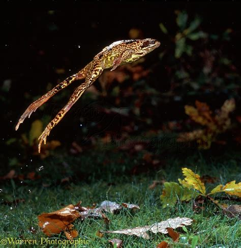 Common Frog leaping photo - WP13681