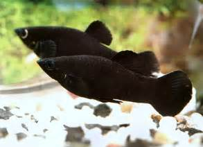 Black molly   Details   Fish of the Month   TFH Magazine®