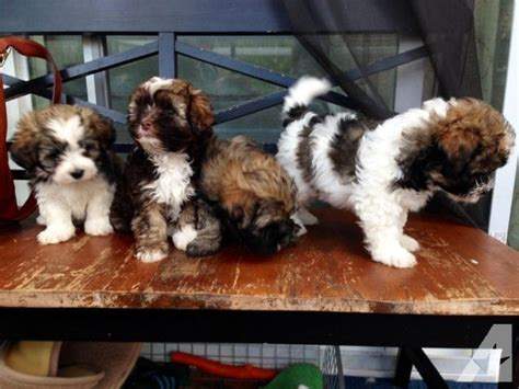havanese purebred purebred havanese puppies ready on november 7th for sale in kent washington