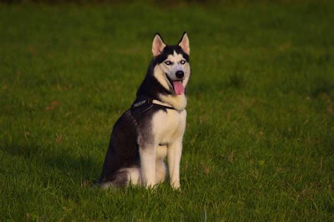 10 essential husky facts that you might need one day