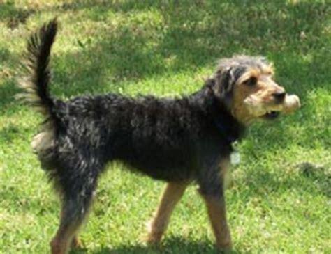 haired dachshund yorkie mix wire haired dachshund terrier mix photo